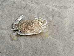 Speckled swimming crab