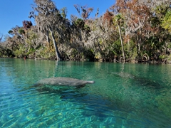 Manatees seek the warm water of a spring