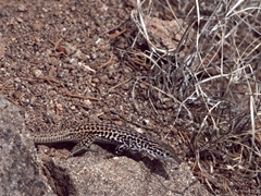 Canyon lizard