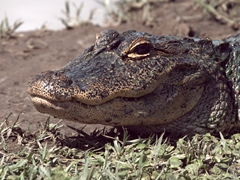 Close up of an alligator sunning itself