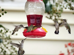Hummingbirds around a feeder