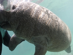 A manatee gives Becky some smooches