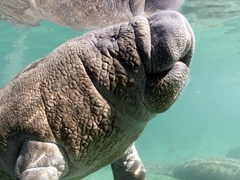 Thick wrinkled skin on this adorable manatee!