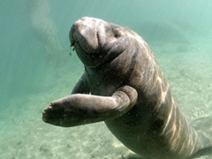 We didn't know that manatees have nails on their flippers until we took this photo