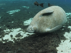 Manatee trying to get rid of its hitchhiker