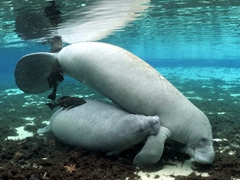 Baby manatee sucking milk from its mom