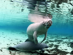 Portrait of a manatee and its calf