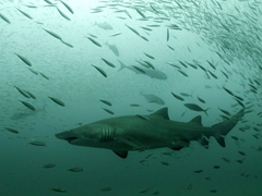 Sand tiger sharks look menacing but they are sluggish and non threatening to humans