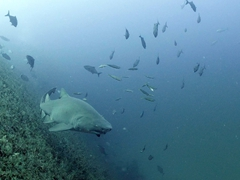 A skittish sand tiger shark on the Papoose wreck
