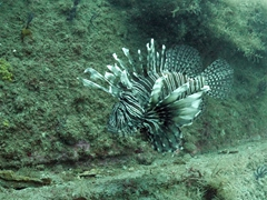 A lionfish on the U-352