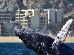 A humpback whale breaching backwards