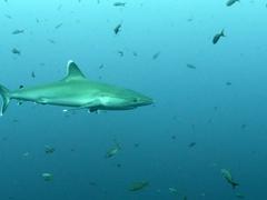A silver tip shark