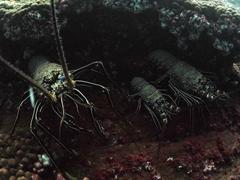 Socorro spiny lobsters