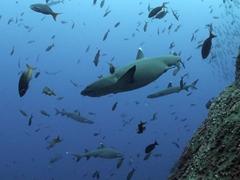 White tip sharks at Roca Partida