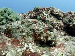 Spot the stone scorpionfish