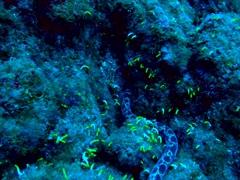Pacific snake eel