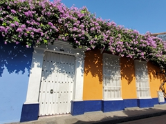 Old bougainvillea vine providing shade; Cartagena
