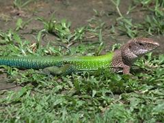 Whiptail lizard; Isla de los Micos