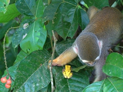 A squirrel monkey plays with a golden poison frog; Isla de los Micos