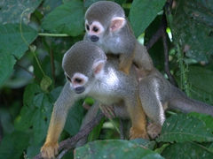 "Squirrel monkeys on the aptly named ""Isla de los Micos"" (Monkey Island)"