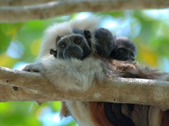 Cotton-top tamarin with two babies on her back; Centenario Park