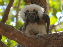 Female cotton-top tamarin