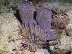Purple anemone next to a purple vase sponge