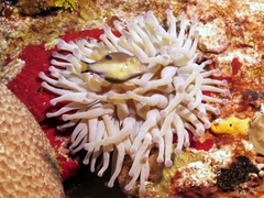 A sharpnose puffer trying to hide in an anemone