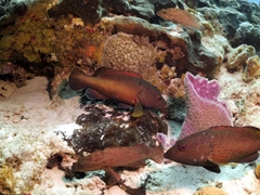 Coney groupers