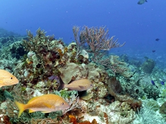 Grunts swimming past soft coral