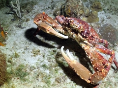 Crabs are in hunting mode at night