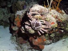 Caribbean king crab feeding at night