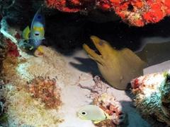 A queen angelfish keeps a green moray eel company