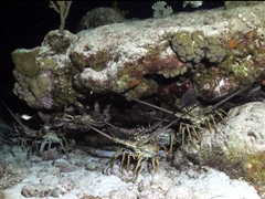 Lobsters under a ledge; Paradise Reef