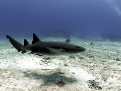 Nurse shark; Yucab Reef