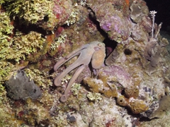 Octopus retreating to a crevice