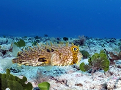 Spiny box puffer