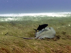 Fish hitching a ride from a stingray