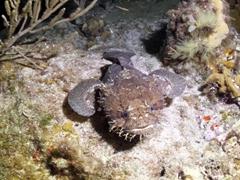 Cozumel toadfish