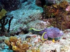 Splendid toadfish - endemic to Cozumel