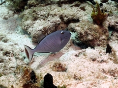 Triggerfish about to hide in a crevice