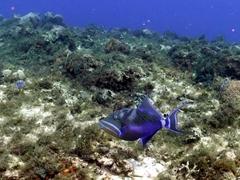 Queen triggerfish