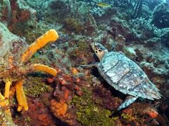 Hawksbill turtle munching on coral