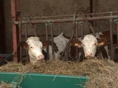 Happy cows on a dairy farm; Vincelles