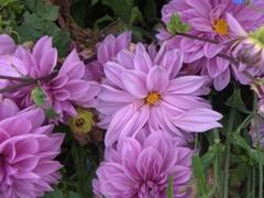 Purple flowers galore in Joigny