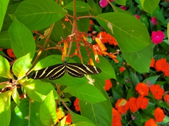 Zebra longwing - Florida's official state butterfly