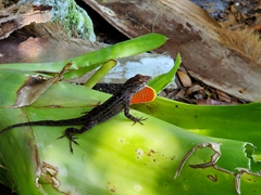 Brown anole with a red throat fan