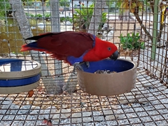 A female red eclectus parrot; Periwinkle Park