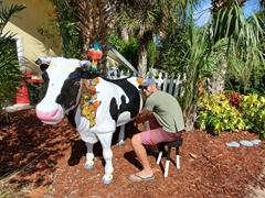 Robby milking a cow; Sanibel Island