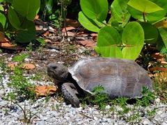 Gopher tortoise; Bowman's Beach